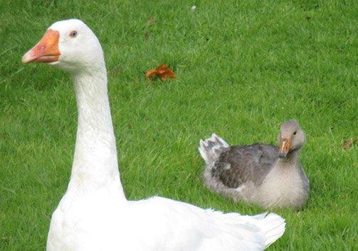 baby-gosling2