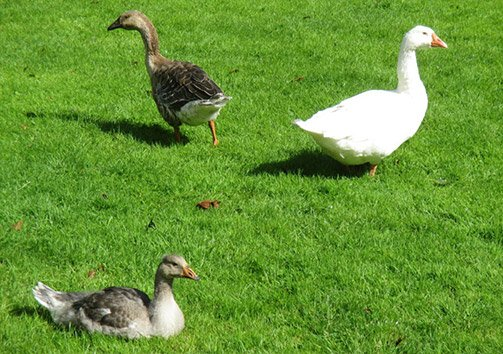 baby-gosling3